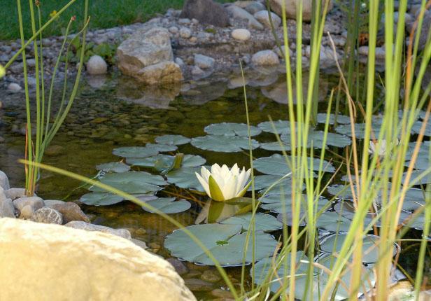 Gartenteich mit Seerose in München